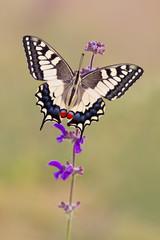 Schwalbenschwanz  Schmetterling - Papilio machaon