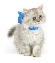 curious white kitten with blue ribbon