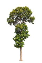 Dipterocarpus alatus, tropical tree in the northeast of Thailand