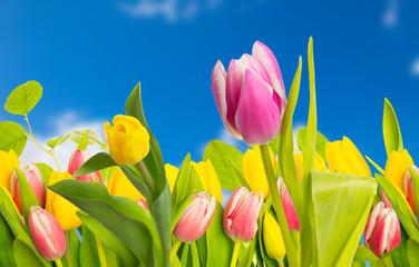 tulpe und blauer himmel