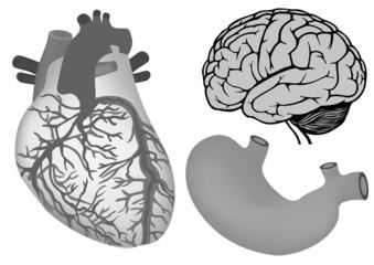 human organs. human heart, stomach and brain