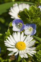 Daisy and Veronica flowers