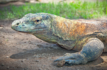 Portrait of Komodo Dragon.  Java, Indonesia.