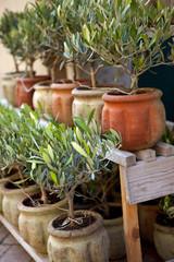 Wall Mural - Olivier, provence, sud, arbre, pot, jardin, plante, olive