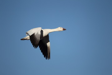Snow goose in flight with a blue sky background