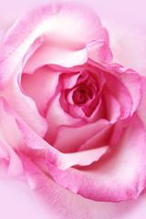 Beautiful, pink rose close up