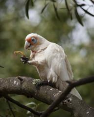 A little corella feeding in a tree
