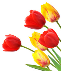 Red and yellow tulips isolated on white background