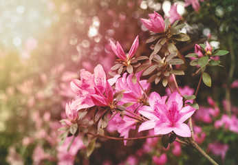 Spoed Foto op Canvas Azalea Spring Azaleas in Soft Sunlight