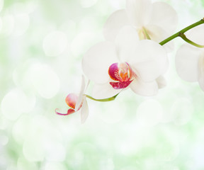 White orchid on defocused light green background.