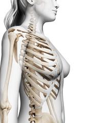 3d rendered illustration of the female skeleton