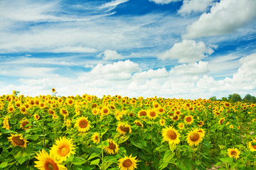field of sunflovewrs