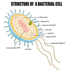 Structure of a bacterial cell