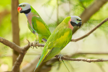 The portrait of a pair  Red-breasted parakeet in Thailand