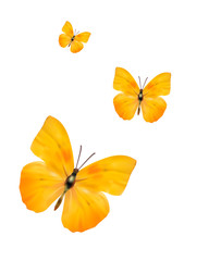 apricot sulphur-Phoebis argante