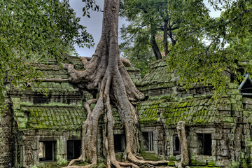 Tree Growing out of Angkor Wat Temple Wall mural
