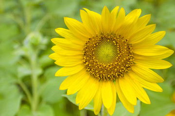 Closeup Sunflowers on the field