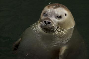 harbor seal - portrait