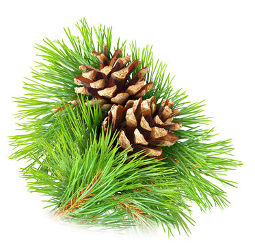 Isolated pine. Pine branch with cones isolated on white background