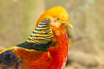 The portrait of Golden Pheasant