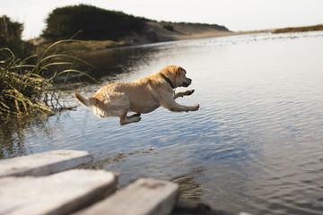 Labrador jumping into river
