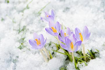 Poster Crocuses Krokusse im Schnee