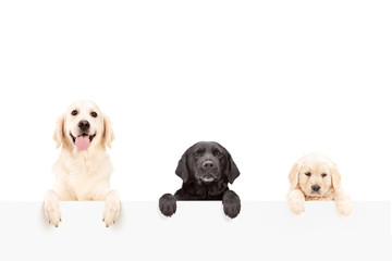 Three dogs posing behind a blank panel