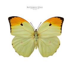 Anteos minippe butterfly