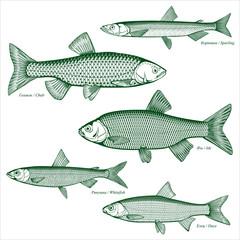 Fish freshwater vector-6