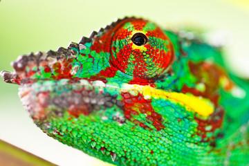 tête de caméléon panthère, furcifer pardalis