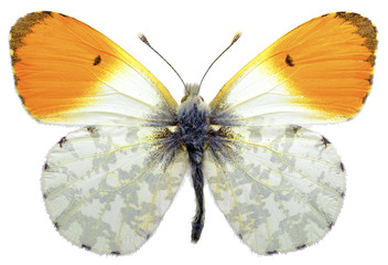 Isolated male orange tip butterfly