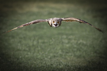 An Eagle Owl flying