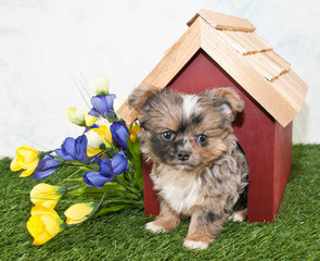 Cute Puppy Peekimg Out of a Dog House.