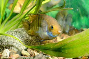 Cichlasoma sajica fish in aquarium