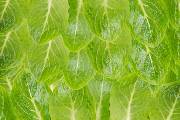 Leaves of green salad, background