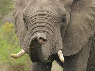 Elephant sniffling the air