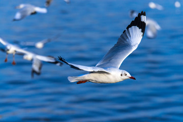 flying seagull in action