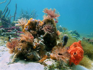 Colorful underwater marine life with magnificent feather duster worms and sponges in the Caribbean sea