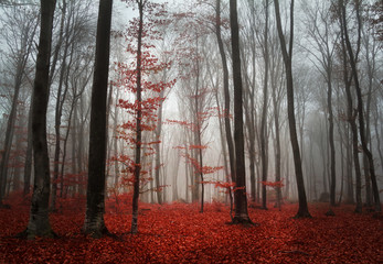 Wall Mural - Foggy autumn day intot he forest