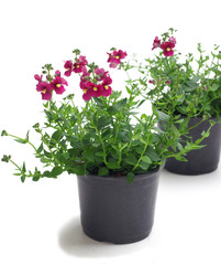 Diascia in a pot on a white background