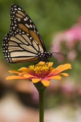 Monarch Butterfly Feeding on Orange Zinnia