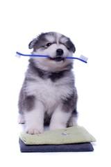 sitzender Husky Welpe mit Zahnbürste