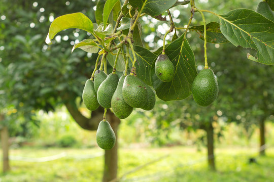 Avocados  growing on tree.