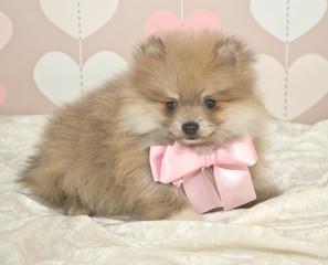 Cute Pom Puppy