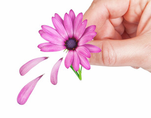 Flower osteospermum fallen petals in the spring for the girl. In