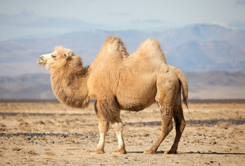 Tuinposter Kameel Bactrian camel in the steppes of Mongolia