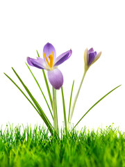Purple crocus on fresh green grass isolated on white