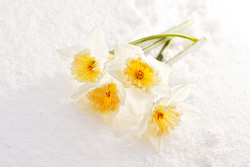 narcissuses in the snow