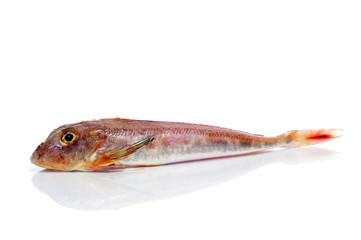 surmullet or striped red mullet