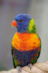 perruquet coloré
